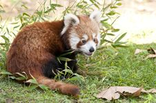 Free Red Panda In Autumn Stock Photography - 17857532