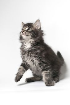 Free Norwegian Forest Cat Royalty Free Stock Photos - 17859718