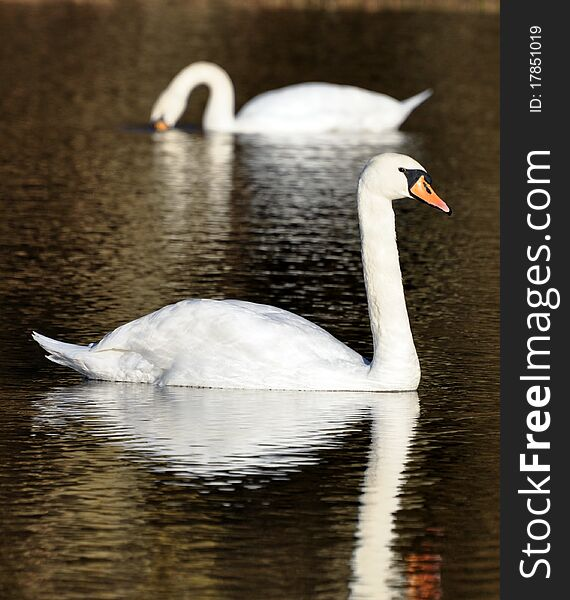 Pair of swans on a lake