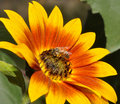Free Sunflower And Bee Stock Photos - 17863713