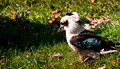 Free Kookaburra Royalty Free Stock Photography - 17863787