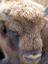 Free Bison Stock Images - 17867424