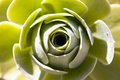 Free Green Rose Stock Photography - 17869172