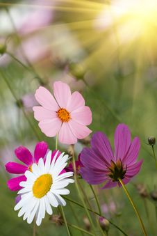 Free Flowers  Camomiles   Glade Royalty Free Stock Images - 17860029