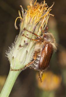 Free Chafer Beetle (amphimallon Falleni) Royalty Free Stock Image - 17860326
