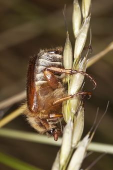 Free Chafer Beetle (amphimallon Falleni) Royalty Free Stock Image - 17860376