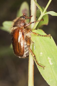 Free Chafer Beetle (amphimallon Falleni) Stock Images - 17860414