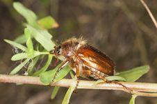 Free Chafer Beetle (amphimallon Falleni) Stock Photo - 17860440