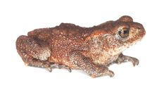 Free Baby Common Toad (Bufo Bufo) Royalty Free Stock Photos - 17861738