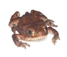 Free Baby Common Toad (Bufo Bufo) Stock Images - 17861764