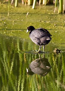 Free American Coot Royalty Free Stock Photo - 17862595