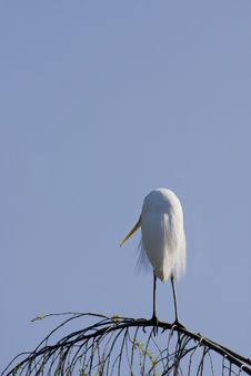 Free Egret Standing On Branch Stock Image - 17862971
