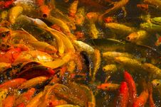 Free The View Of Koi (fish) Feeding Frenzy In Pond Stock Images - 17865164