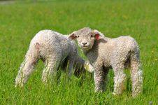 Free Cute Lambs Royalty Free Stock Photography - 17865557