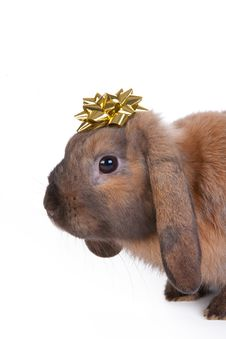 Free Brown Lop Eared Dwarf Rabbit Stock Images - 17866494