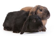Free Brown And Black Lop Eared Rabbits Royalty Free Stock Photos - 17866678