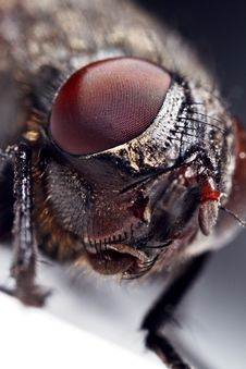 Free Housefly, Close-up Royalty Free Stock Images - 17866709
