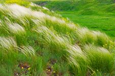 Free Feather-grass Royalty Free Stock Photography - 17866847