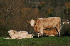 Free Cattle On A Farm Stock Photo - 17867790