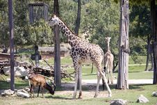 Free Giraffe In The Zoo Royalty Free Stock Photography - 17869077