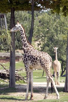 Free Couple Of Giraffe In The Zoo Stock Images - 17869124