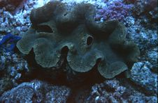 Free Giant Clam Stock Photos - 17869253