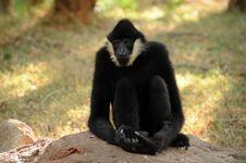 Free Gibbon Royalty Free Stock Photography - 17869507