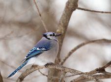 Blue Jay, Cyanocitta Cristata Stock Image