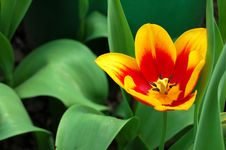 Free Lonely Tulip Royalty Free Stock Image - 17869726