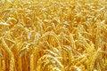 Free Wheat Stock Photography - 17874292