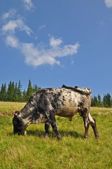 Free Young Bull On A Summer Pasture Stock Image - 17871521