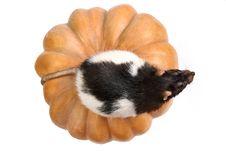 Rat On A Pumpkin Royalty Free Stock Photos
