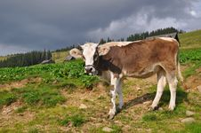 Free Cow On A Mountain Pasture Stock Image - 17871661