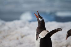 Free Gentoo Penguin Call Stock Image - 17872511