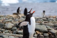 Free Gentoo Penguin Call Royalty Free Stock Image - 17872536