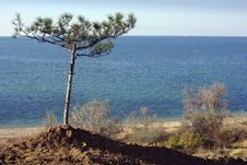 Free Sole Pine Tree On A Beach Royalty Free Stock Photo - 17873325