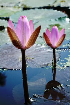 Free Pink Waterlily Royalty Free Stock Images - 17874069