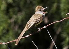Free Brown-crested Flycatcher 3 Stock Photography - 17874122