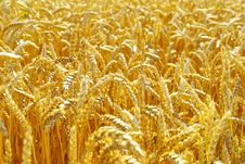 Free Wheat Stock Photography - 17874292