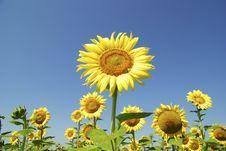 Free Sunflowers Royalty Free Stock Image - 17874326