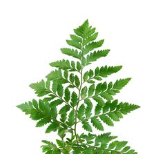 Free Decorative Fern Close Up Plants Stock Photography - 17874992