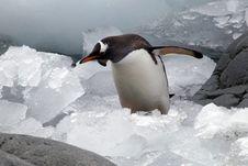 Free Penguin Stock Image - 17875511