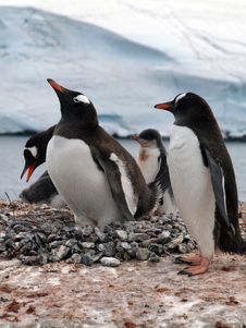 Free Penguin Royalty Free Stock Images - 17875569