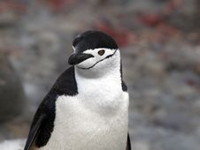 Free Penguin Stock Photo - 17875770
