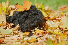 Free Black Poodle Pup Playing In Fall Leaves. Stock Images - 17877134