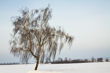 Birch In The Winter Stock Photography