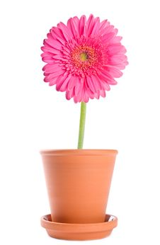 Free Pink Gerbera In Terracotta Pot Royalty Free Stock Images - 17878119