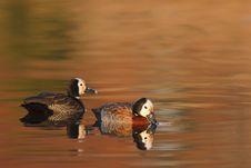 Free Autumn Ducks Royalty Free Stock Photos - 17878678