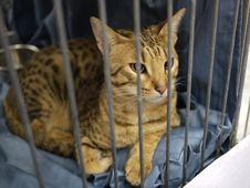 Free Bengal Cat Stock Image - 17879531