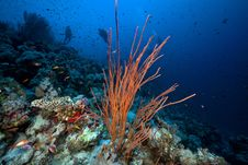 Free Cluster Whip Coral And Divers In The Red Sea. Stock Photo - 17880030
